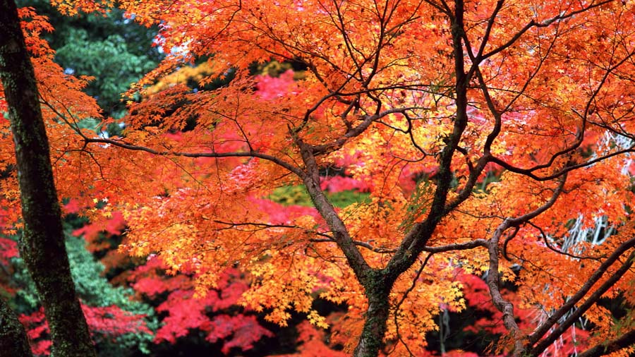 JapaneseMaple